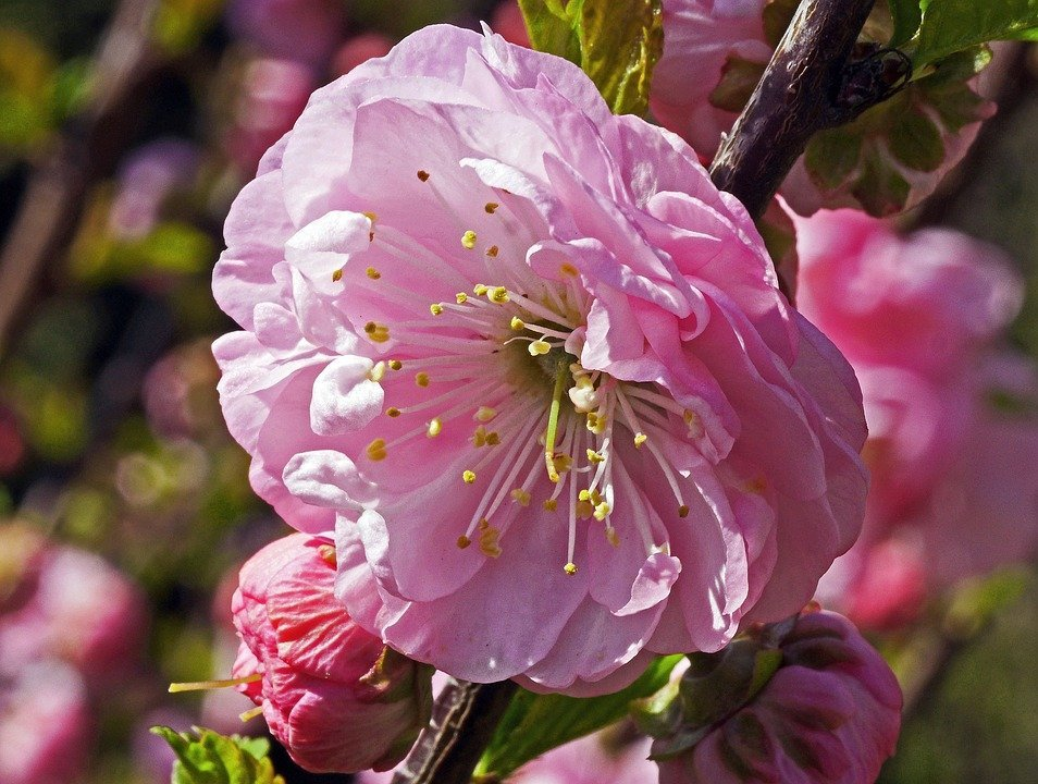 Almond Tree, Single Flower, Bud, Macro, Spring, Flower