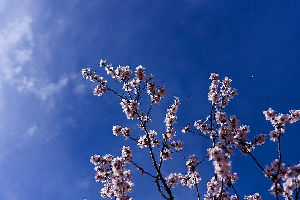 Blossom, Bloom, Almond, Almond Blossom, Sun, Spring