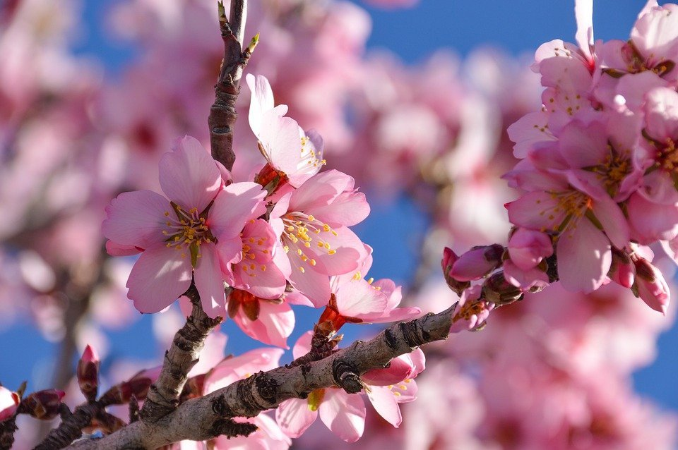 Blooming almond trees attract bees and spectators